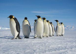 Miniatura per l'articolo intitolato:I pinguini di Daniele Del Giudice